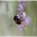 Photos: 蜜を吸うクマバチ