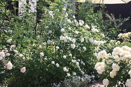 whiterosegarden (8)