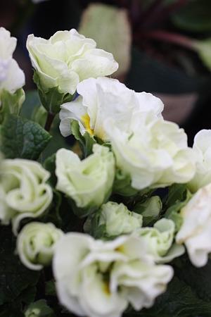 サンルームの中の小さな春 (4)