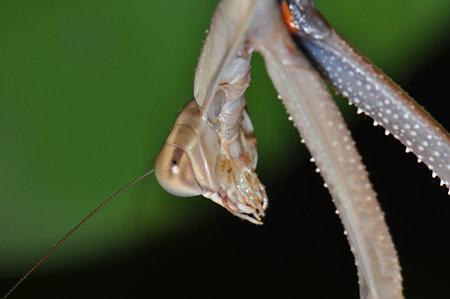 カマキリ科 チョウセンカマキリ