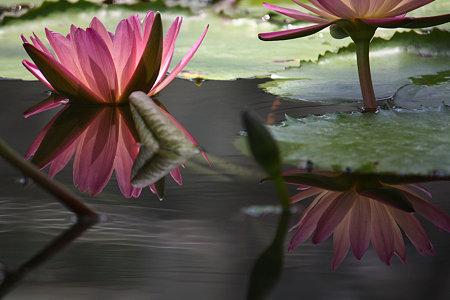 水に映る睡蓮 1