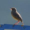 写真: チャバネヤブヒバリ(Rufous-winged Bushlark)(Indochinese Bushlark) P1040094_R