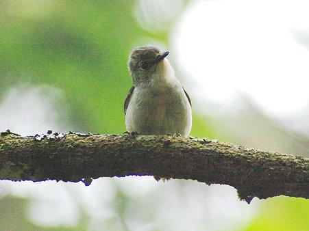 ハジロマユヒタキ♀(Little Pied Flycatcher) IMGP113446(CR)_R