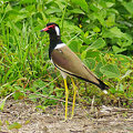 Photos: インドトサカゲリ(Red-wattled Lapwing) IMGP119444_R