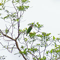 Photos: シロボシオオゴシキドリ(Lineated Barbet) IMGP119382_R