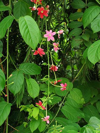モクセイのような香りの花 DSCN4911_R