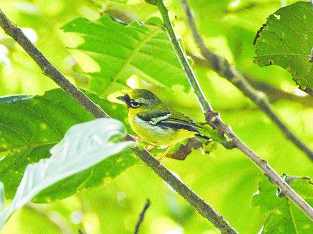 クリビタイモズチメドリ(Chestnut-fronted Shrike-babbler) IMGP121023-5_R