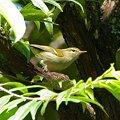 Photos: ムシクイの一種(Warbler) IMGP124258_R