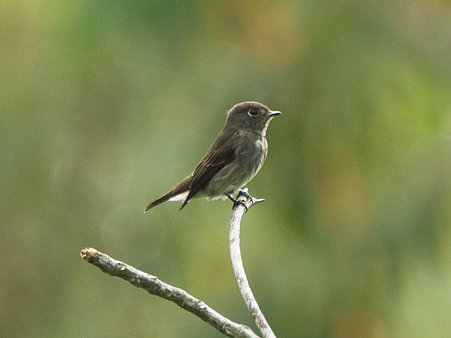サメビタキ(Dark-sided Flycatcher) P1020740_R