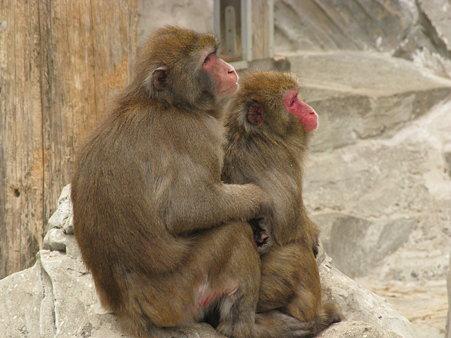 ニホンザル@上野動物園