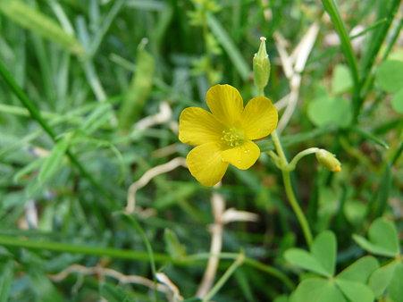 2009-5-20 庭の花・はな・華 (3)いわゆる雑草・・だけどこんなにかわいい花たち
