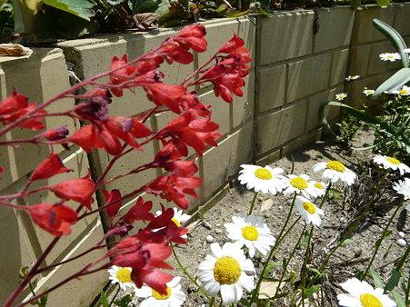 2009-5-20 庭の花・はな・華 (5) 元気になぁれ・・赤・黄・オレンジの花たち