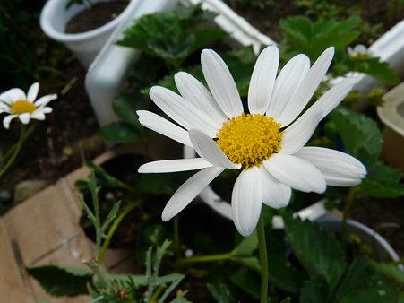 2009-5-20 庭の花・はな・華 (7) 想いを託す白い花たち