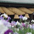 菖蒲祭り2
