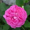 写真: 昔から有るピンクのバラ