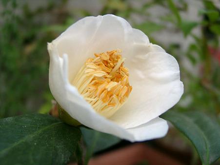 つばき白・椿(白)