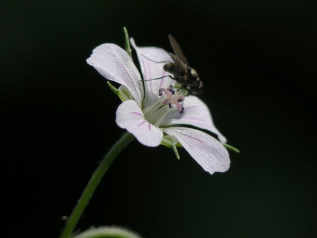 ミツバフウロ 花