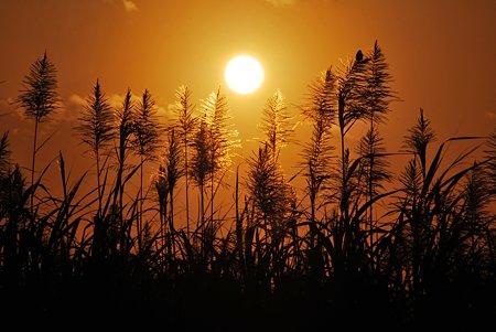 朝陽と砂糖きぴの穂