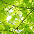 Photos: 新緑かえで