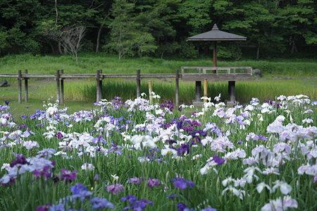 神楽女湖 菖蒲園