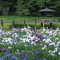 Photos: 神楽女湖 菖蒲園
