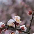 Photos: 雪まとう