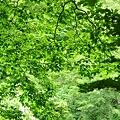 ブナの葉緑