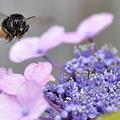 ミツバチ君~飛行~正面