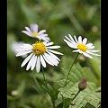 Photos: 里の花