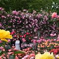 写真: 満開のバラ園  私綺麗?