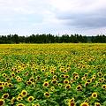 写真: ひまわり村  35万本のヒマワリ