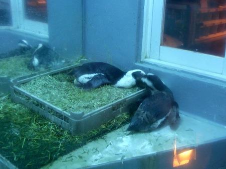 ペンギン居酒屋 相互羽繕い