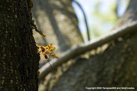ヒメウマノオバチ