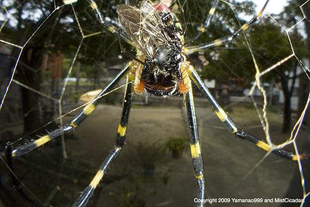 ジョロウグモの画像 p1_1