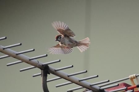 飛ぶのが仕事の雀たち
