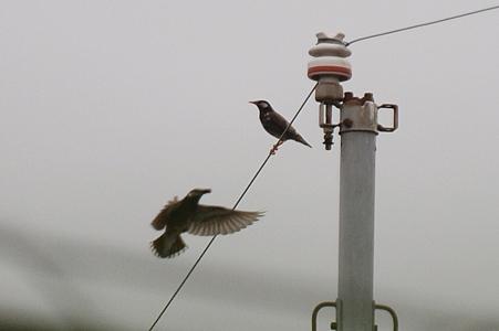 早朝曇天ムクドリの飛翔