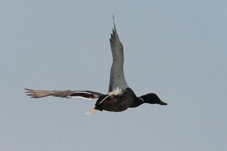 鴨が葱背負わないで飛んでいる(苦笑