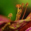 写真: オシロイバナの雌蕊と雄蕊