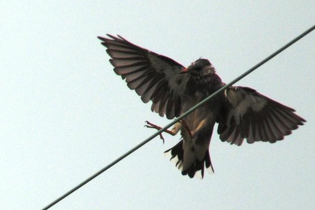 写真: 逆光のムクドリ