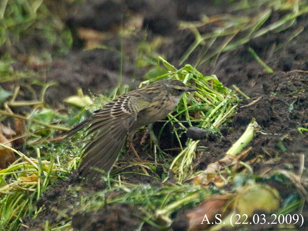 Photos: Rosy Pipit(伸び~)
