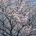 写真: 20110410_sakura2