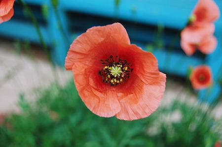 2011年04月18日_DSC_0228ナガミヒナゲシ