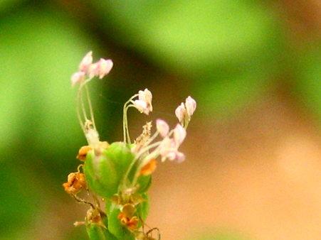 風にゆれゆれ、オオバコの花