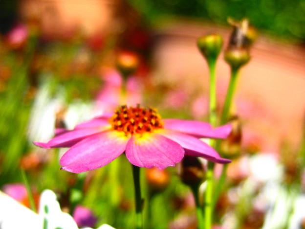 コレオプシスの花2