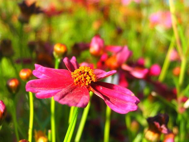コレオプシスの花3