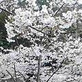 写真: 桜綺麗なう!(^^) 今か...