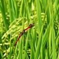 写真: 稲の海原で~仲良しトンボ♪