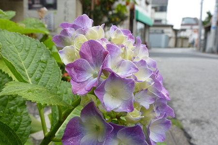 柴又路傍の紫陽花