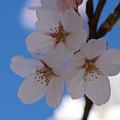 桜の優しさ