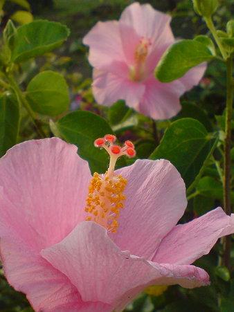 "Hibiscus""Sweet Pink"""